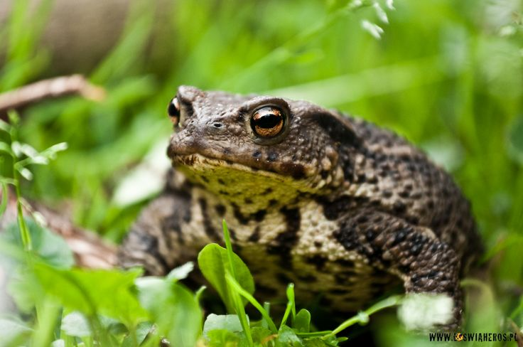 Common toad from Poland.