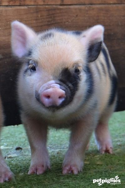 Stubby nosed micro pig piglets available at Petpiggies | Petpiggies