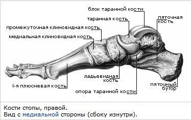 Стопа человека. Кости
