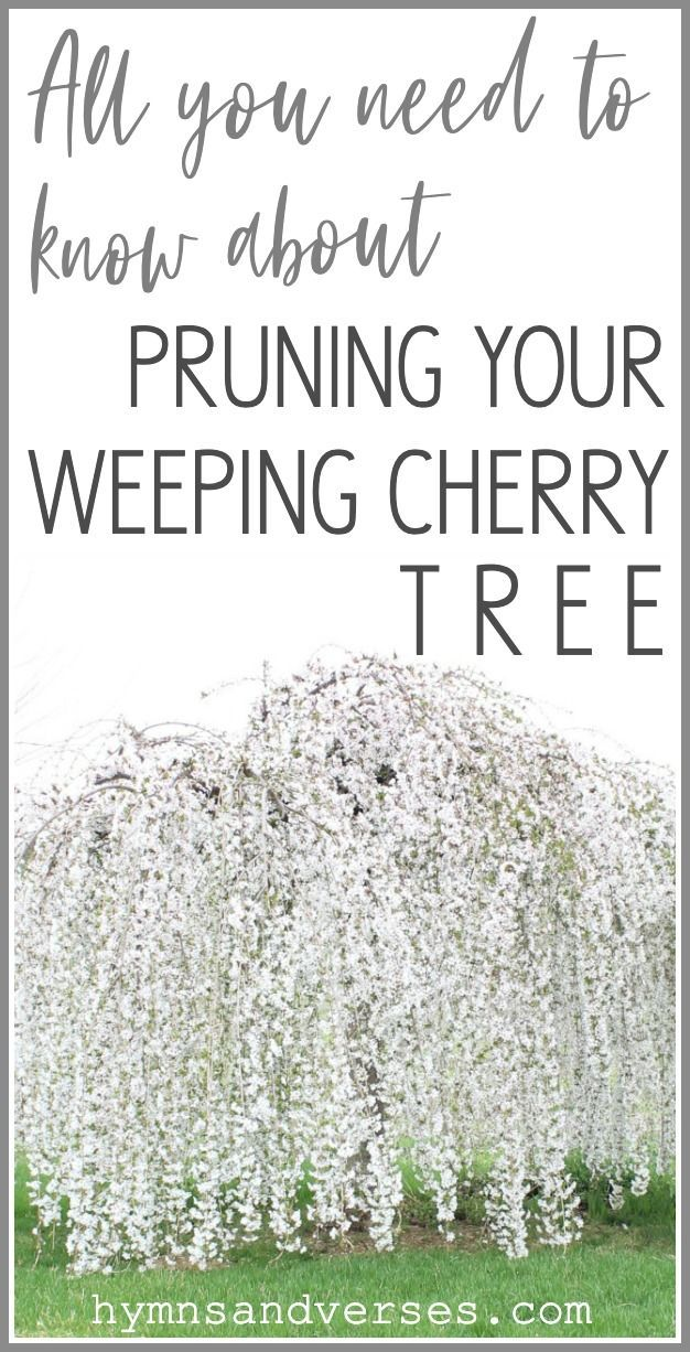 How To Prune A Weeping Cherry Tree Weeping Cherry Tree Weeping Trees Cherry Trees Garden