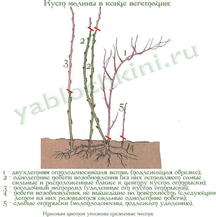 куст-малины-в-конце-вегетации