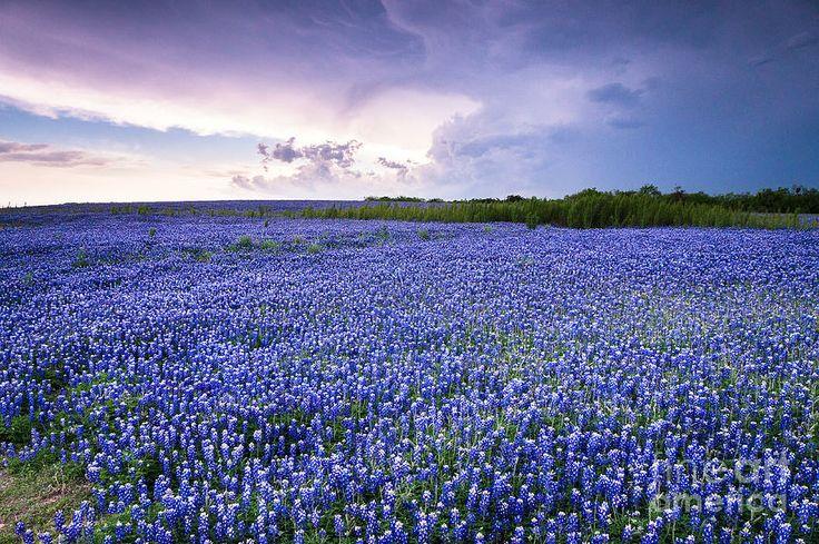 Storm Is Coming In Wildflower Field - Bluebonnet ...