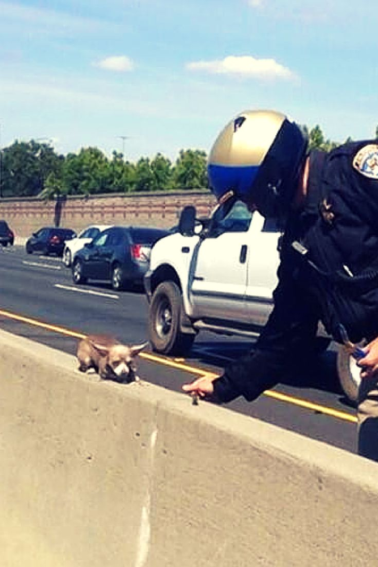 It was rush hour along I-680 in the Bay Area when a CHP motorcycle officer finally spotted the tiny dog cowering precariously in the center divide, in real danger of being struck by a vehicle if he dared venture off his narrow perch.   At first the chihuahua wasn't eager to be moved, but the caring officer was able to win his trust by offering him a piece of protein bar, after which he allowed himself to be picked up and brought to safety.