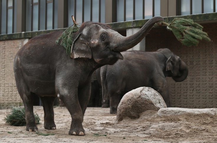 Here Are Some Elephants Eating Christmas Trees    An annual post-holiday tradition at the Berlin Zoo. | Buzzfeed