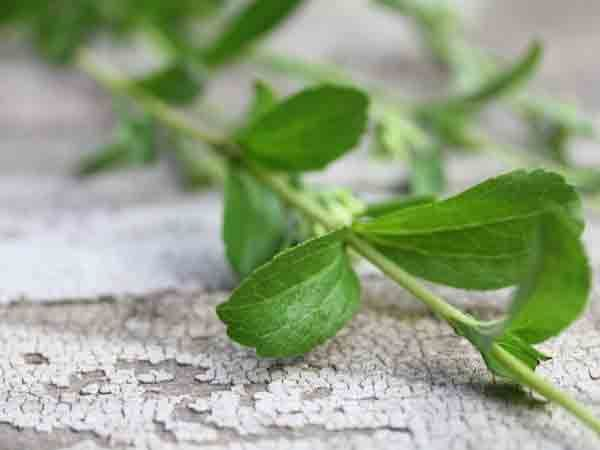 Hard-to-find Stevia seeds that grown for the famous Stevia leaves which, when dried, Stevia is used to sweeten drinks and Stevia desserts.