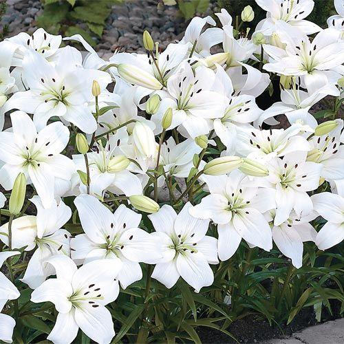 Buy White Carpet Border Lily at Brecks Wholesale