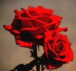Las rosas rojas: Las rosas rojas no sólo son símbolo del amor, un simple amigo se las puede enviar haciendo halago a la belleza y al respeto que los une. Se trata de uno de los colores más excitantes y pasionales en una rosa.  Principalmente, las rosas rojas son el símbolo del amor, sobre todo los jóvenes enamorados las eligen para regalárselas a su pareja, pero también se pueden emplear como regalo a un amigo como muestra de respeto.