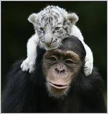 Image result for bílý tygr