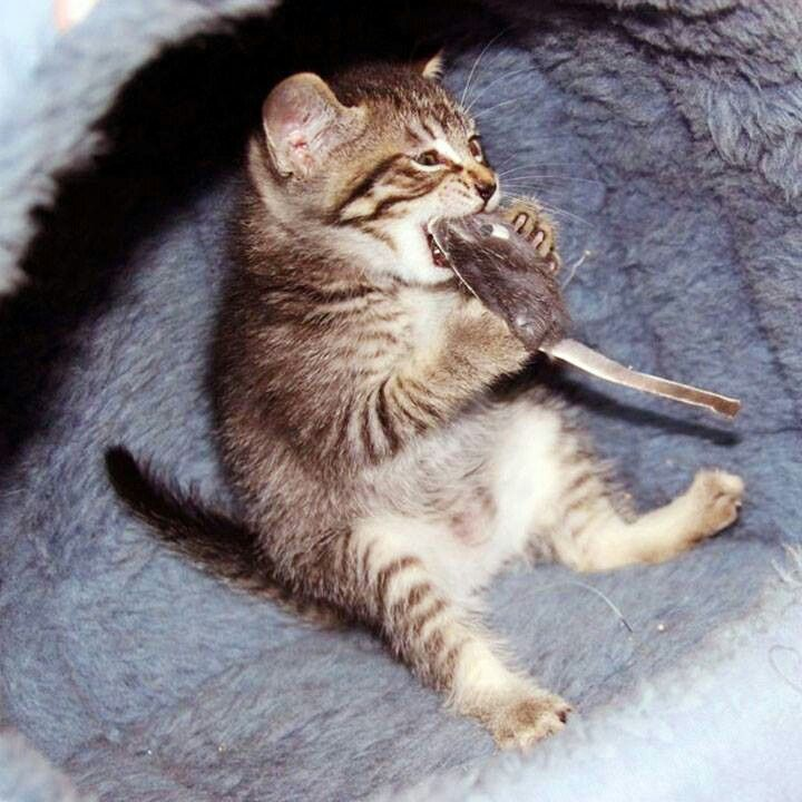 NomNomNom tabby kitten eating toy mouse cats Pinterest