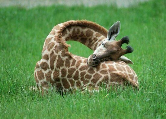 ¿A que no sabías? Así duermen las jirafas…