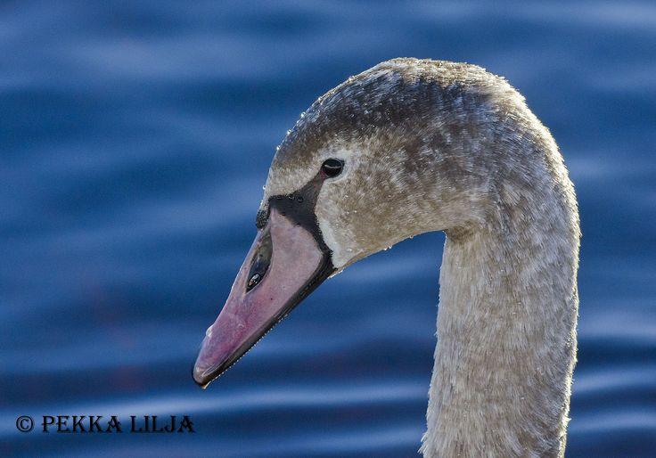 Kyhmyjoutsen - Mute swan