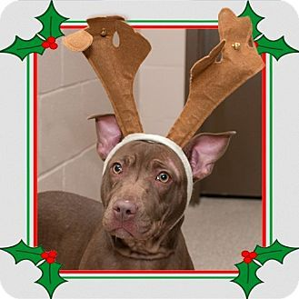 Ah gosh Raya is So Adorable!!!  More so without the Reindeer antlers...  Raya is Loving for her Loving & FOREVER Home.   Pictures of Raya a Pit Bull Terrier Mix for adoption in Troy, OH who needs a loving home.