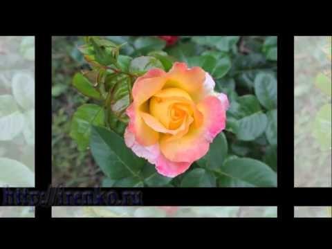 Розы. Цветы. Flowers. Релакс. Роза-королева сада