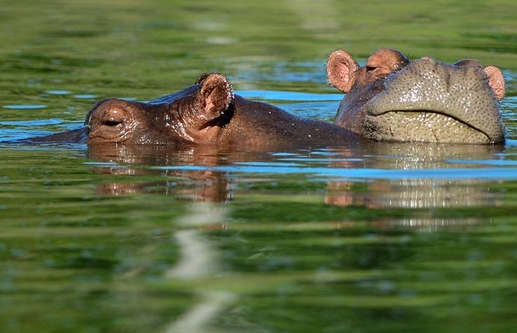 More than 20 years after Colombian drug lord Pablo Escobar died in a gunfight with police, a strange legacy survives him: his pet hippos.  Police killed or locked up Escobar's drug gang, but not the hippos in his private zoo.  Left to themselves on his Napoles Estate, they bred to become what'