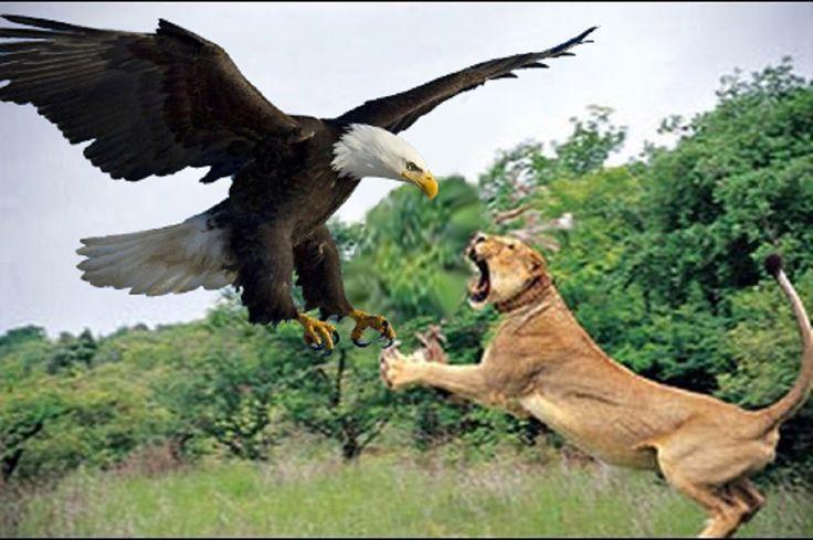 Lion vs Eagle Real Fight - Lion vs Eagle Fight - Lion vs Eagle Battle 2016