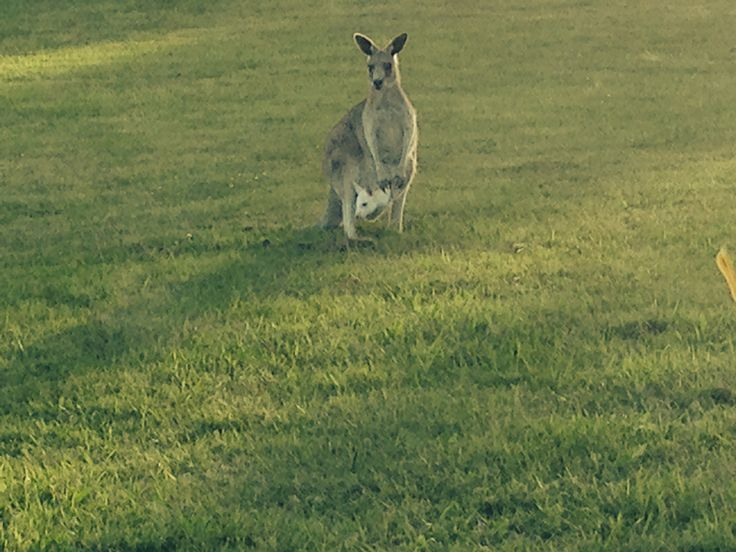What an #AMAZING sight! Our second WHITE KANGAROO at the Yering Gorge Cottages property! How lucky are we to have over 200 of these amazing #australian icons on our property for our guests to enjoy. #yeringcottages #easterngc #yarravalley #kangaroo #nature #wildlife #australia #victoria