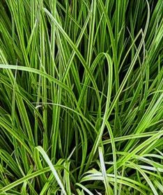 'Golden Fountains' Sedge Grass – Sheridan Nurseries