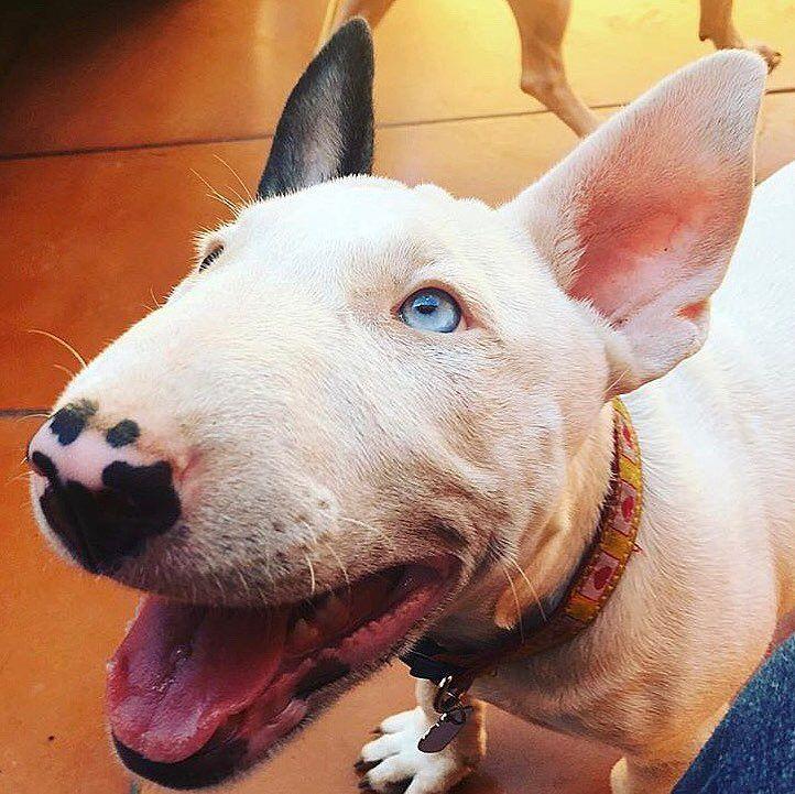 Happy Blue-eyed Bullie...