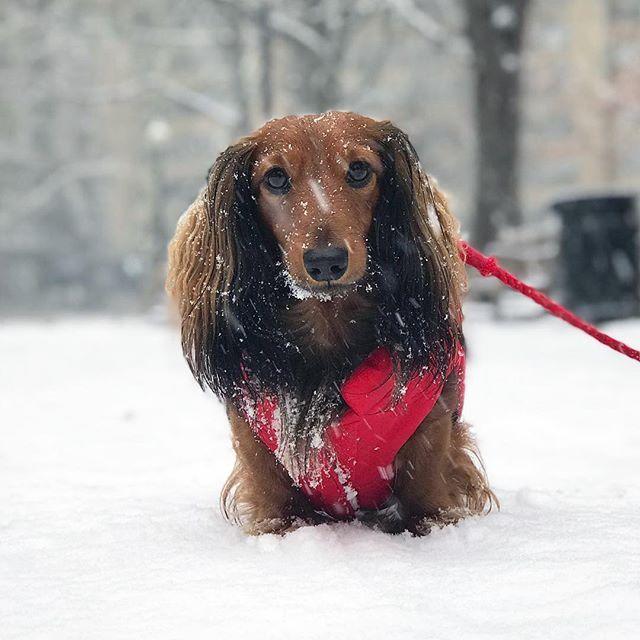 Dachshund Winter Coat Waterproof Dog Coat Keep Your Doxie Warm