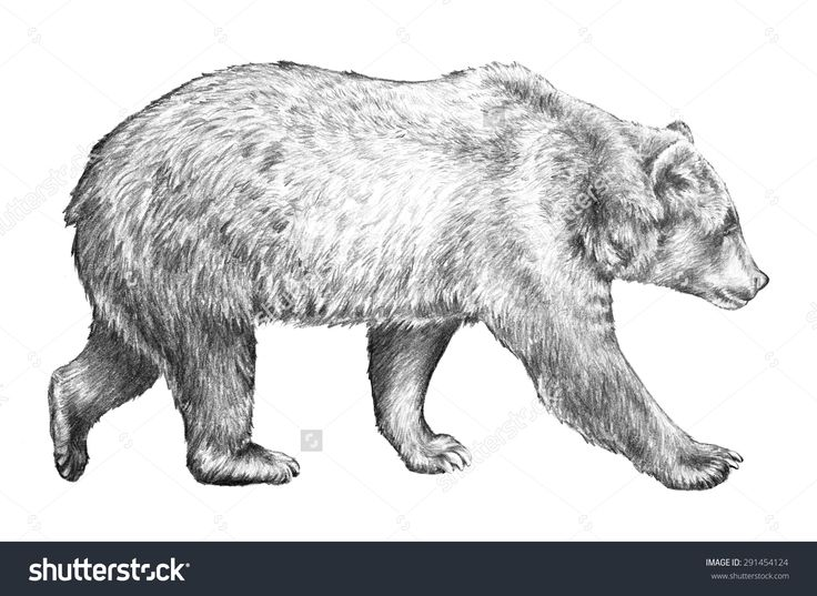 Grizzly Bear, Hand Drawn Sketch Of Bear Walking, Dangerous Wildlife Animal, Huge Brown Bear, North American Wildlife, Bear Pencil Sketch Illustration Isolated On White Background - 291454124 : Shutterstock