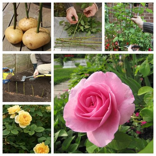 Here is a great tip for growing propagate roses by sticking them into potatoes. It looks crazy but seems it works really well. roses-on-potatoes/
