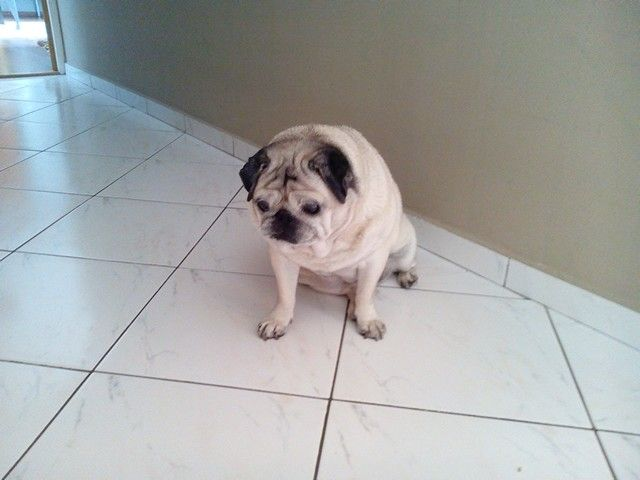 Dog pug Peggy :-) :-) :-) :-) :-)