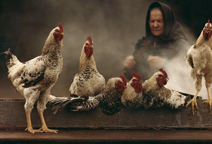 Pedro Luis Raota de gallos y gallinas