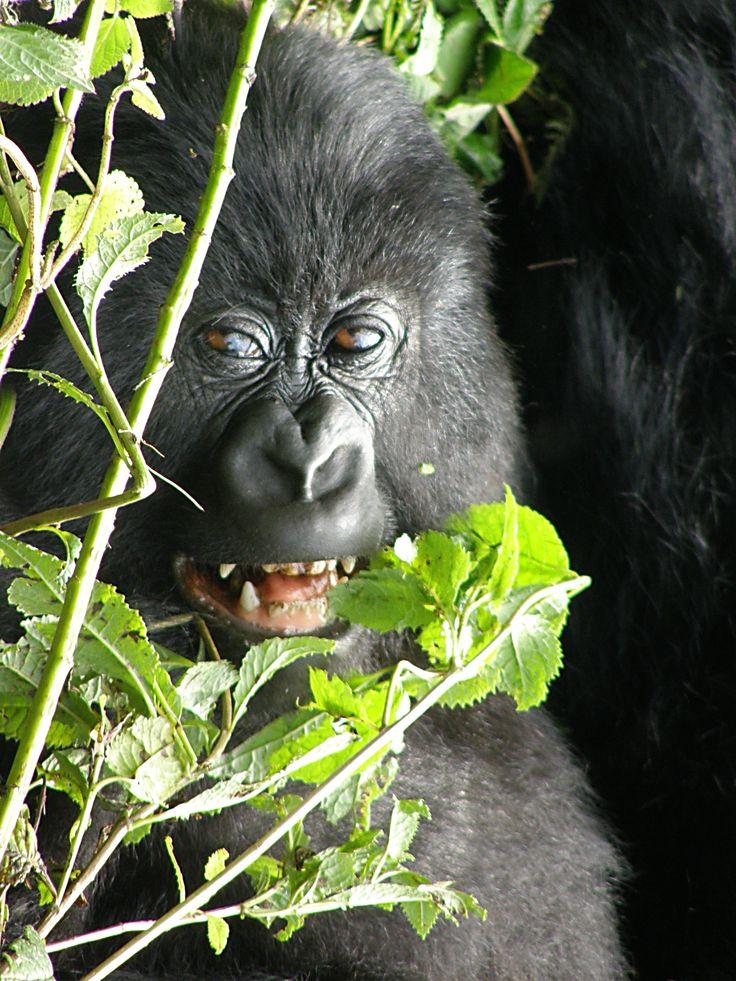 mountain gorilla Rwanda - photo by Tony Zegarchuk