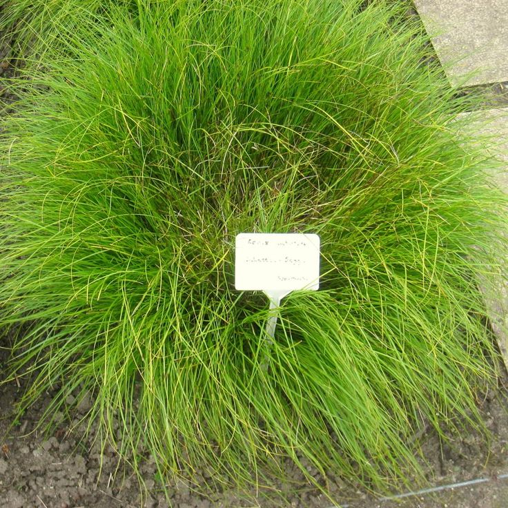 32 best carex images on Pinterest | Ornamental grasses, Plants and ...