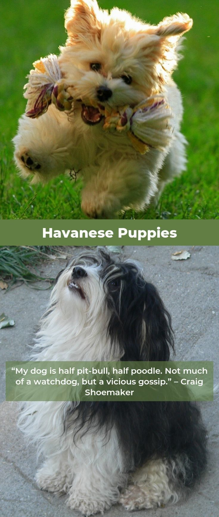 Havanese Dog Havaneseofny Havaneseworld Havanese Dogs Puppy Adoption