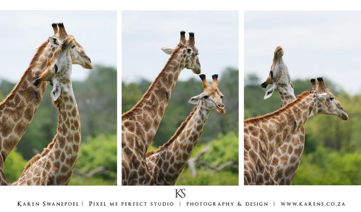 Giraffe Necking