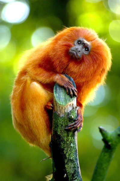 The Golden Lion Tamarin is native to the Atlantic rainforest of Brazil. Once down to only several hundred animals, the species is being reintroduced to protected forest areas and its numbers are up. However, the species is still listed as Endangered and continues to be threatened by habitat loss.