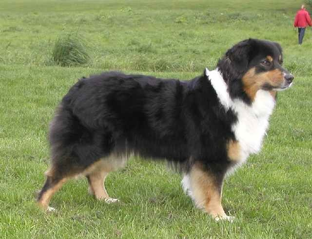 This is an Australian Shepherd (some size and facial similarities, not at all the same fur and shorter in height):