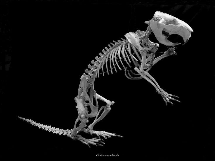 アメリカビーバー - 骨格標本室から