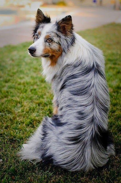 beautiful fur 1 australian australian shepherds breeding tips dog ...