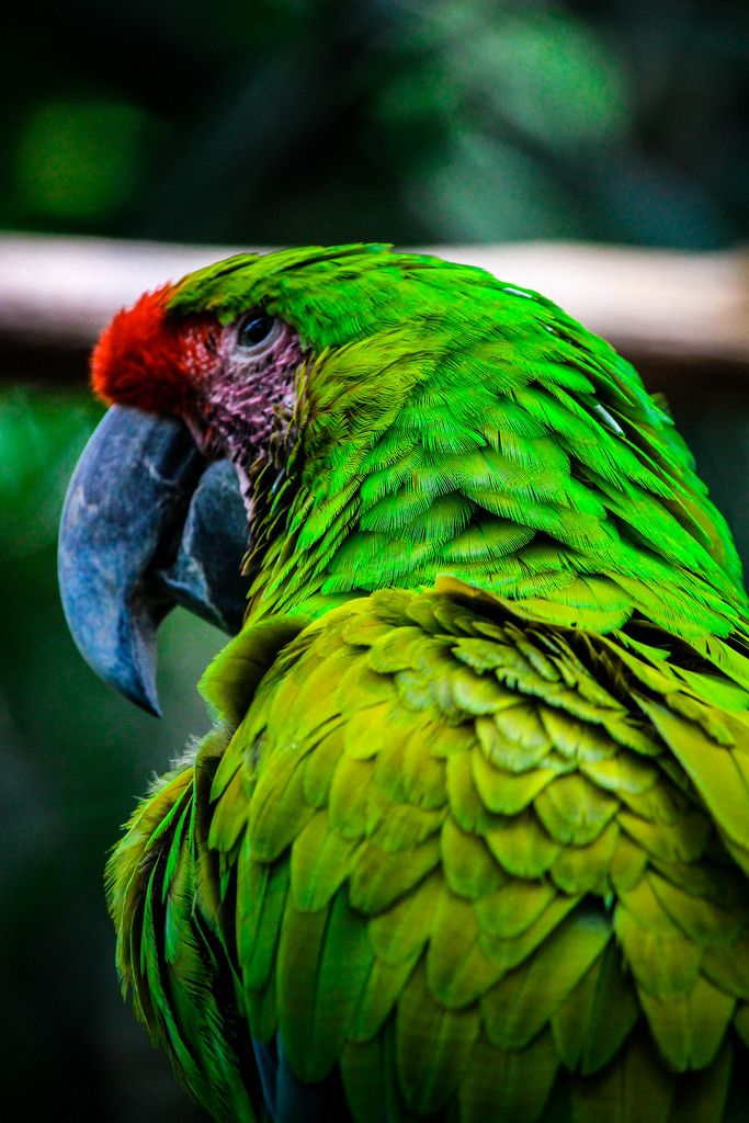 Green Green! Green Macaw!