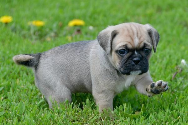 Petland Overland Park Has Puggle 2nd Gen Puppies For Sale Check