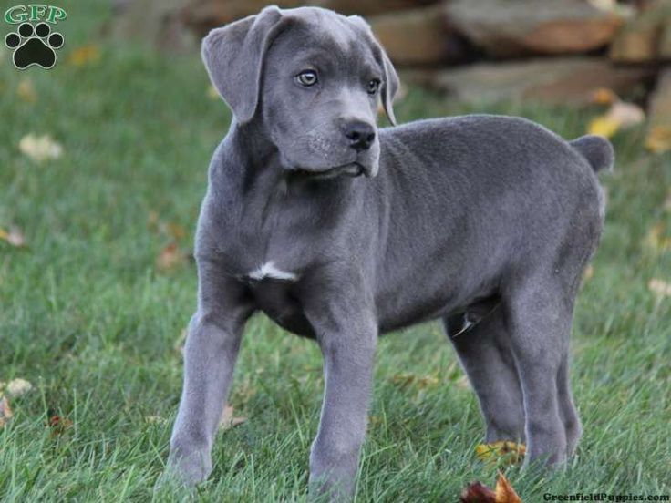 Blue cane corso mastiff puppies