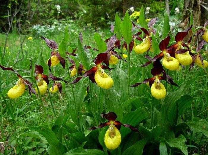 flores exóticas - Orquídea Sapatinho de Dama (Cypripedium calceolus)