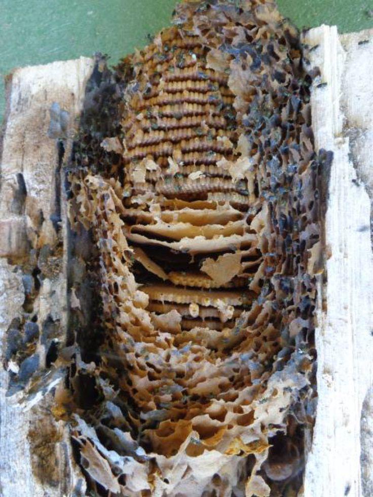 Colmena Enorme. Huge Hive. Melipona