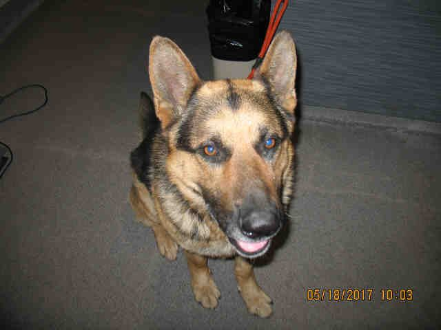 German Shepherd Dog dog for Adoption in Lathrop, CA. ADN-565367 on PuppyFinder.com Gender: Male. Age: Adult