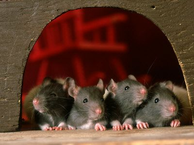 What not to feed a pet rat, definitely need this with the two new little ratties.