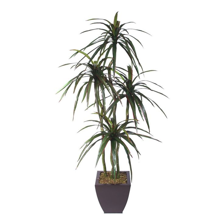 Silk Yucca Tree with Wood Trunks in