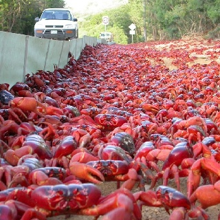 Red Crab Migration - Christmas Island, Australia I WISH TO GO TO CHRISTMAS ISLAND DURING THE GREAT CRAB MIGRATION AND SCUTTLE ALONGSIDE MY CRUSTACEOUS BRETHREN!!! ლ(ಠ_ಠ ლ) (づ。◕‿‿◕。)づ