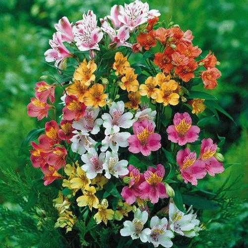 Princess Lilies come in a dwarf variety when planted under trees gives a great added pop of color!