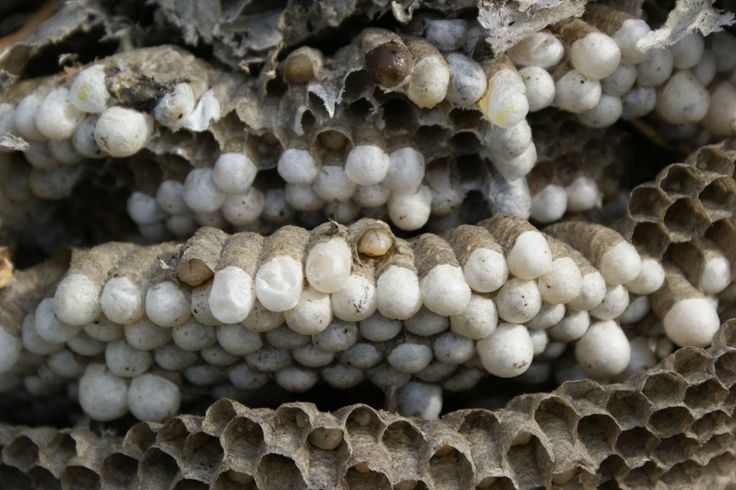 39 Best Images About Wasp Nests On Pinterest Honey Bees