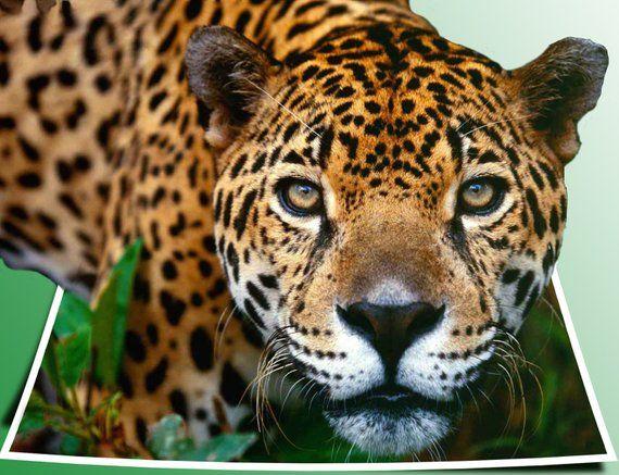 Handmade Photoshop 3d Popout Jaguar Digitaldownload Photography Animals Specialeffects Bigcats Popout Jaguarpr Jaguar Animal Animals Beautiful Wild Cats