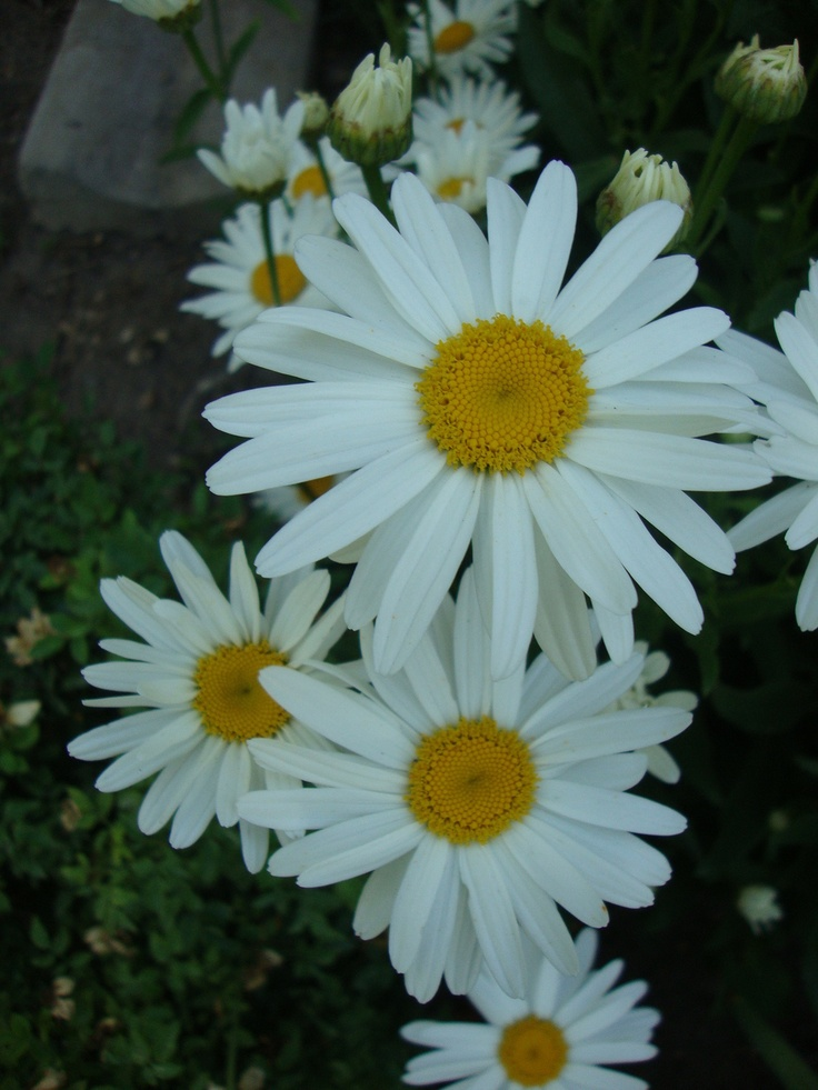 Photo of Shasta Daisy (Leucanthemum x superbum) uploaded by Paul2032