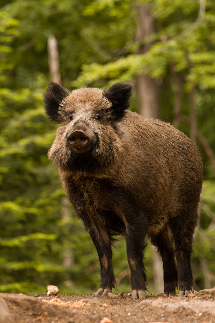 Wild boar: 3-6 ft. Long with a 12-16 inch tail. Weight 110-440lb. Feral pigs mating with wild boar have created some monster pigs.