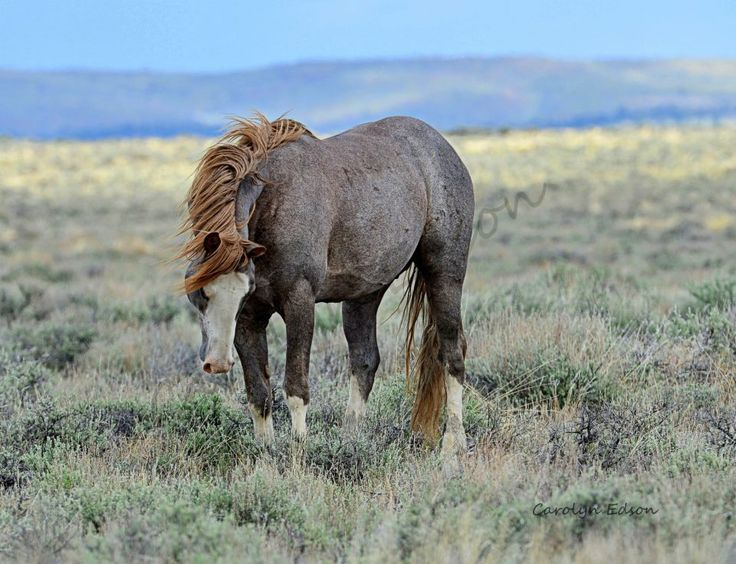 107 best images about Horses roan on Pinterest | Mustang ... - photo#31